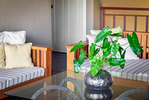 How to grow Philodendron in water