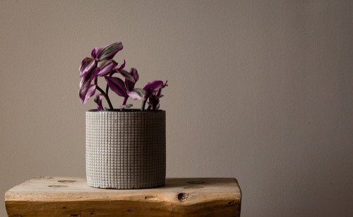 How to grow Wandering Jew in water