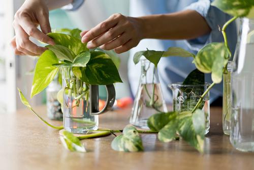 How to grow Pothos in water
