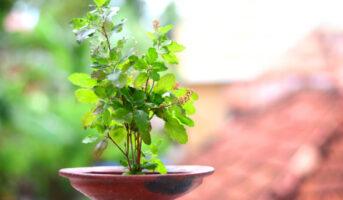 Vastu Shastra tips for placing tulsi plant at home